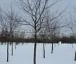 Посадка крупномеров Клена остролистного (Клена платановидного) (Acer platanoides) - 231