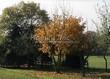 Посадка крупномеров Клена остролистного (Клена платановидного) (Acer platanoides) - 232