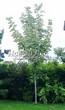 Посадка крупномеров Клена остролистного Друммонда (Acer platanoides 'Drummondii') - 201