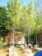 Посадка крупномеров Клена остролистного Друммонда (Acer platanoides 'Drummondii') - 202