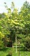 Посадка крупномеров Клена остролистного Друммонда (Acer platanoides 'Drummondii') - 203