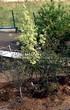 Посадка крупномеров Клена остролистного Друммонда (Acer platanoides 'Drummondii') - 204
