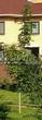 Посадка крупномеров Клена остролистного Друммонда (Acer platanoides 'Drummondii') - 205
