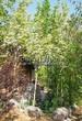 Посадка крупномеров Клена остролистного Друммонда (Acer platanoides 'Drummondii') - 206