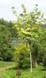 Посадка крупномеров Клена остролистного Друммонда (Acer platanoides 'Drummondii') - 207