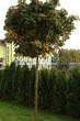 Посадка крупномеров Клена остролистного Глобозум (Клена платановидного Глобозум) (Acer platanoides 'Globosum') - 203