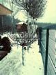 Посадка крупномеров Клена остролистного Глобозум (Клена платановидного Глобозум) (Acer platanoides 'Globosum') - 204
