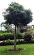 Посадка крупномеров Клена остролистного Глобозум (Клена платановидного Глобозум) (Acer platanoides 'Globosum') - 205