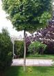 Посадка крупномеров Клена остролистного Глобозум (Клена платановидного Глобозум) (Acer platanoides 'Globosum') - 206