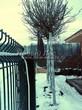 Посадка крупномеров Клена остролистного Глобозум (Клена платановидного Глобозум) (Acer platanoides 'Globosum') - 207