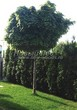 Посадка крупномеров Клена остролистного Глобозум (Клена платановидного Глобозум) (Acer platanoides 'Globosum') - 208