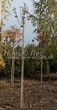 Посадка крупномеров Клена остролистного Глобозум (Клена платановидного Глобозум) (Acer platanoides 'Globosum') - 209