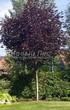 Посадка крупномеров Клена остролистного Роял Ред (Acer platanoides 'Royal Red') -201