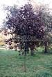 Посадка крупномеров Клена остролистного Роял Ред (Acer platanoides 'Royal Red') -202