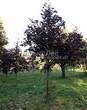 Посадка крупномеров Клена остролистного Роял Ред (Acer platanoides 'Royal Red') -203