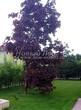 Посадка крупномеров Клена остролистного Роял Ред (Acer platanoides 'Royal Red') -204
