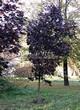 Посадка крупномеров Клена остролистного Роял Ред (Acer platanoides 'Royal Red') -206