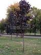 Посадка крупномеров Клена остролистного Роял Ред (Acer platanoides 'Royal Red') -207