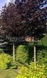 Посадка крупномеров Клена остролистного Роял Ред (Acer platanoides 'Royal Red') -208