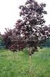 Посадка крупномеров Клена остролистного Роял Ред (Acer platanoides 'Royal Red') -209
