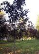 Посадка крупномеров Клена остролистного Роял Ред (Acer platanoides 'Royal Red') -210