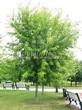 Посадка крупномеров Клена серебристого (сахаристого) (Acer saccharinum) - 201