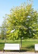 Посадка крупномеров Клена серебристого (сахаристого) (Acer saccharinum) - 202