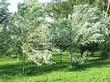 Посадка крупномеров Клена серебристого (сахаристого) (Acer saccharinum) - 203