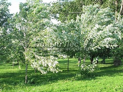 Посадка крупномеров лиственных деревьев Клена серебристого