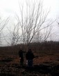 Посадка крупномеров Клена серебристого (сахаристого) (Acer saccharinum) - 204