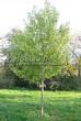 Посадка крупномеров Клена серебристого (сахаристого) (Acer saccharinum) - 205