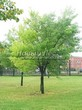 Посадка крупномеров Клена серебристого (сахаристого) (Acer saccharinum) - 206