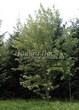 Посадка крупномеров Клена серебристого (сахаристого) (Acer saccharinum) - 207