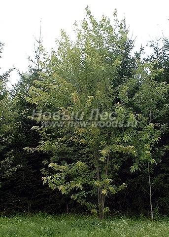 Посадка лиственных крупномеров Клена серебристого