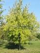 Посадка крупномеров Клена серебристого (сахаристого) (Acer saccharinum) - 208