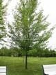 Посадка крупномеров Клена серебристого (сахаристого) (Acer saccharinum) - 209