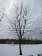 Посадка крупномеров Клена серебристого (сахаристого) (Acer saccharinum) - 210