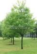 Посадка крупномеров Клена серебристого (сахаристого) (Acer saccharinum) - 211