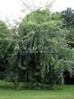 Посадка крупномеров Клена серебристого Лациниатум Виери (Клена сахаристого Лачиниатум Уэйери) (Acer saccharinum 'Laciniatum Wieri') - 201