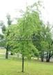Посадка крупномеров Клена серебристого Лациниатум Виери (Клена сахаристого Лачиниатум Уэйери) (Acer saccharinum 'Laciniatum Wieri') - 202
