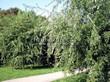 Посадка крупномеров Клена серебристого Лациниатум Виери (Клена сахаристого Лачиниатум Уэйери) (Acer saccharinum 'Laciniatum Wieri') - 203