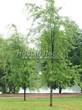 Посадка крупномеров Клена серебристого Лациниатум Виери (Клена сахаристого Лачиниатум Уэйери) (Acer saccharinum 'Laciniatum Wieri') - 205