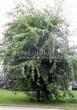 Посадка крупномеров Клена серебристого Лациниатум Виери (Клена сахаристого Лачиниатум Уэйери) (Acer saccharinum 'Laciniatum Wieri') - 206