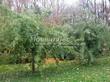 Посадка крупномеров Клена серебристого Лациниатум Виери (Клена сахаристого Лачиниатум Уэйери) (Acer saccharinum 'Laciniatum Wieri') - 207
