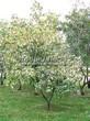 Посадка крупномеров Клена татарского (Acer tataricum) - 201