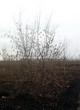 Посадка крупномеров Клена татарского (Acer tataricum) - 202