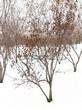 Посадка крупномеров Клена татарского (Acer tataricum) - 206