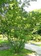 Посадка крупномеров Клена татарского (Acer tataricum) - 207