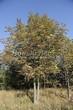 Посадка крупномеров Конского каштана обыкновенного (Aesculus hippocastanum) - 204