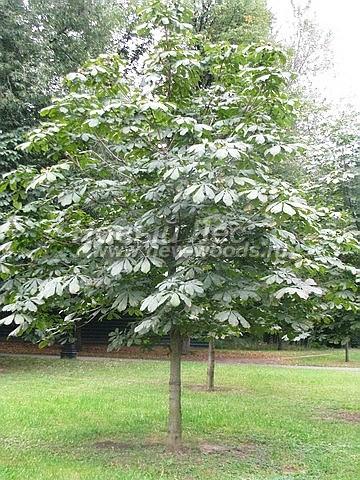 Конский каштан обыкновенный: лиственный крупномер